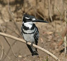 Pied kingfisher by Clive Temple