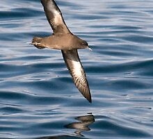 sooty shearwater sweeps by by Grandalf