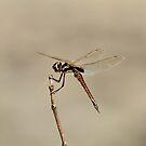 Female Tramea cophysa by Robert Abraham
