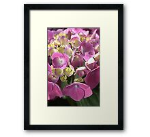 flower-hydrangea pink Framed Print