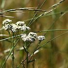YARROW AND GRASSES by fsmitchellphoto