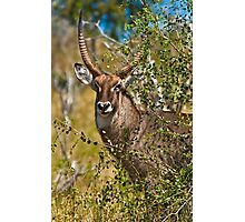 Territorial Male Waterbuck  Photographic Print