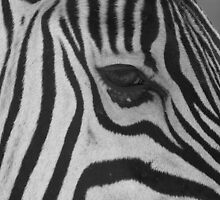 Zebra, Namibia by Clive Temple