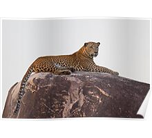 Wild Male Leopard Poster