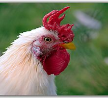 Meet Fred..Windmill rooster by John44