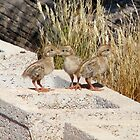 """""""Where are our Parents"""" (Gambel's Quail babies) by Sherry Pundt"""