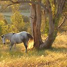 """Grey Horse in summer landscape"" by Mary Taylor"