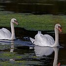 Swans at Magra 5 by dougie1page2