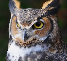 Great Horned Owl by ewersphoto