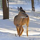 White-tailed Deer in Snow by ewersphoto