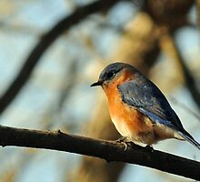 East Tennessee Bluebird by ewersphoto