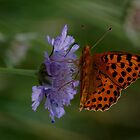 Familiar butterfly - High brown fritillary butterfly  by Meeli Sonn
