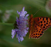 Familiar butterfly - High brown fritillary butterfly  by loiteke