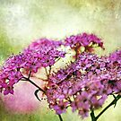 Spiraea Japonica by Astrid Ewing Photography