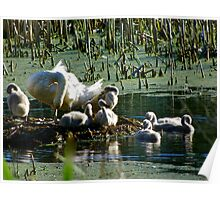Swans in the Great Swamp Poster