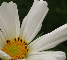 White cosmos flower by Maria1606