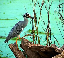 Stepping right up - Brazos Bend State Park by Ann Reece