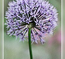 Ukonlaukka (Allium aflatunense) by Chrisseee