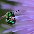 Halictid bee by Dennis Stewart