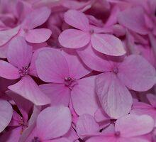 Hydrangea by SusanAdey