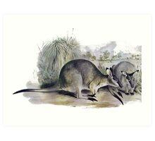 Western Brush wallaby Art Print