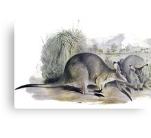 Western Brush wallaby Metal Print