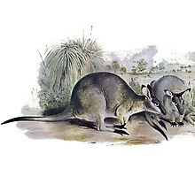 Western Brush wallaby Photographic Print