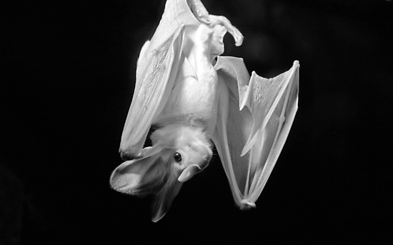 Ghost Bat by Leanne Allen