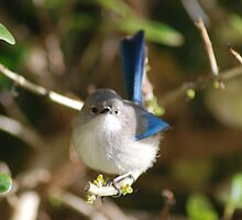 Bluey looking at me! by Adrian Kent