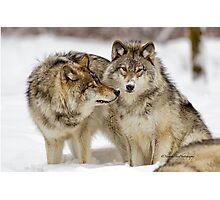 Love you sweetie... - Timber Wolves Photographic Print