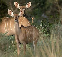 Greater Kudu by Yves Roumazeilles