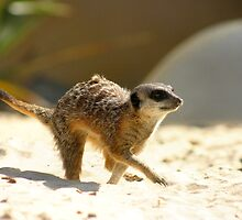 Meerkat at Chessington Adventure World by celticfae01