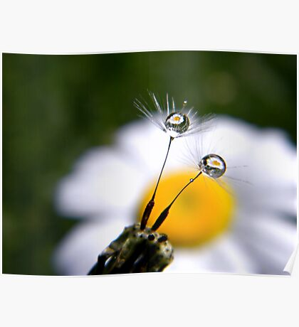 Daisy Refraction In Dandelion Seeds Poster
