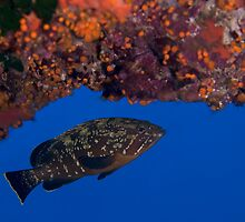 dusky grouper by spyderdesign