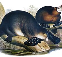 The platypus (Ornithorhynchus anatinus) painting by marmur