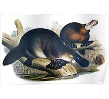 The platypus (Ornithorhynchus anatinus) painting Poster