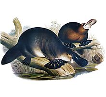 The platypus (Ornithorhynchus anatinus) painting Photographic Print
