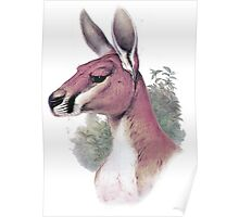 Red kangaroo portrait Poster