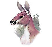 Red kangaroo portrait Photographic Print