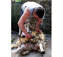 Sheep Shearing Photographic Print