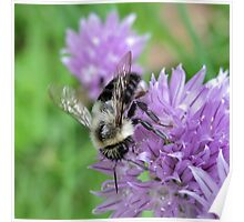 ~ Bee on Chive Flower ~ Poster