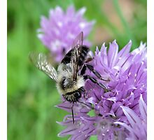 ~ Bee on Chive Flower ~ Photographic Print