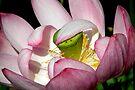 Lotus Vail by NatureGreeting Cards ©ccwri