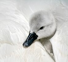 Young Cygnet by Lyn Evans