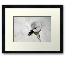 Young Cygnet Framed Print
