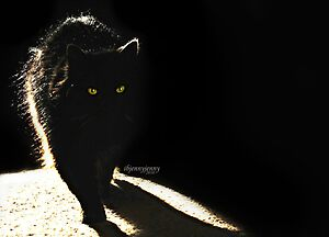 Black cat in sunlight