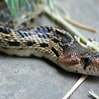Gopher Snake by SKNickel
