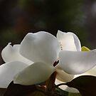 Magnolia 6505 by João Castro