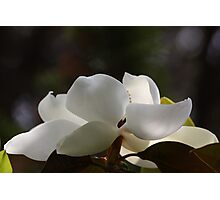 Magnolia 6505 Photographic Print