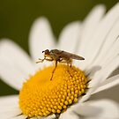dung fly on a daisy by Jon Lees